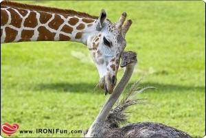 IRONI Fun.com ::. عکس هایی از کبوتر با کبوتر ، باز با باز -- طنز